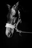 Künstlerisches Foto des Pferdekopfs im Geschirr Stockbilder