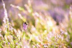Künstlerisches Foto einer Hummel auf den Blumen der wilden Heide Stockfotografie