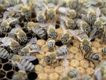 Künstliche Befruchtung der Bienen im Bienenhaus des Imkers Lizenzfreie Stockfotos