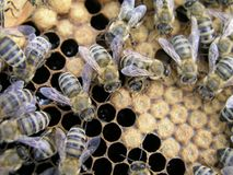 Künstliche Befruchtung der Bienen im Bienenhaus des Imkers Lizenzfreies Stockbild