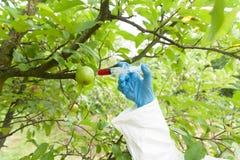 Künstliche Farbe in der Frucht einspritzen, genetisch geänderte Äpfel stockbilder
