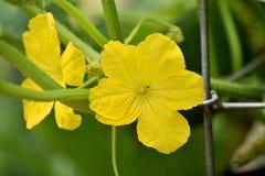 Kürbis-Blüte Stockbild