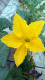 Kürbis-Blume Stockfoto