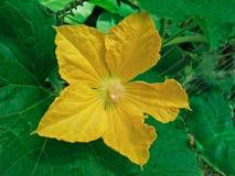 Kürbis-Blume Stockfotografie