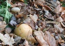 Kürbis, der in umgebenden Blättern verrottet Lizenzfreie Stockfotos