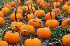 Kürbis-Flecken auf Sunny Autumn Day Lizenzfreie Stockbilder