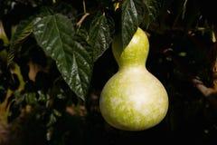 Kürbis in Form einer Birne wächst auf einer Niederlassung Lizenzfreie Stockfotos