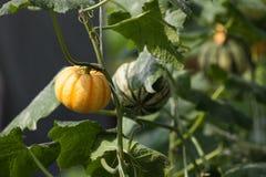 Kürbis im Gemüsegarten Lizenzfreies Stockfoto