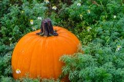 Kürbis im Kürbisflecken Feiern Sie Herbst mit Saisongemüse lizenzfreie stockfotos