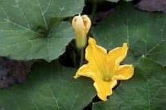Kürbisblumen oder Cucurbita moschata Duchesne, Kürbis Stockfotos
