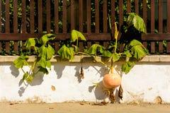 Kürbise bereit zur Ernte, die durch Zaun wächst Stockfoto