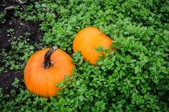 Kürbise im Kürbisflecken für Autumn Season-Dekor stockbilder