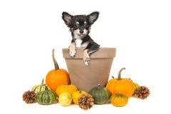 Kürbise und ein Blumentopf mit einem Chihuahuahund in ihm Stockfotografie