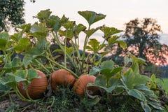 Kürbise warten auf die Ernte stockfoto