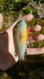 Kürbiskern Sunfish Lizenzfreie Stockfotos