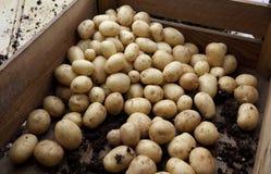 Kürzlich geerntete Kartoffeln Lizenzfreies Stockfoto