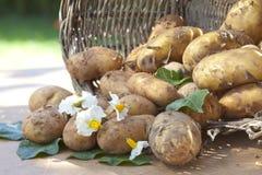 Kürzlich geerntete Kartoffeln lizenzfreie stockbilder