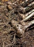 Kürzlich geernteter Knoblauch (Alivum Sativum) Stockbilder