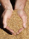 Kürzlich geernteter Weizen Lizenzfreie Stockbilder