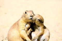 Küssen der Murmeltiere Lizenzfreies Stockfoto