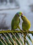 Küssen der Papageien stockfotos