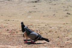 Küssen der Tauben Stockfotografie