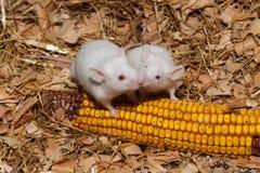 Küssen der weißen Mäuse Lizenzfreie Stockbilder