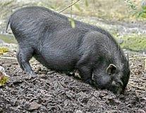 Küssen des Schweins Lizenzfreie Stockfotos