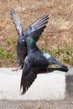 Küssen mit zwei Tauben Stockfoto