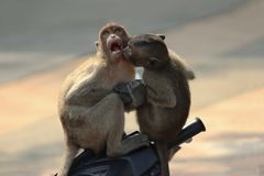 Küssen von Affeliebe Lizenzfreie Stockfotografie