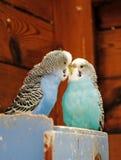 Küssen von Budgies Stockbilder