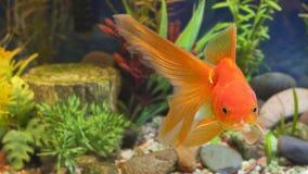 Küssen von Goldfischen Stockfotos