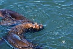 Küssen von Robben Lizenzfreie Stockfotos