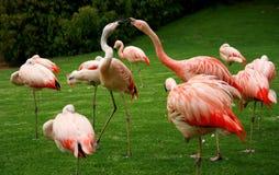 Küssen von rosa Flamingos im Park lizenzfreie stockbilder