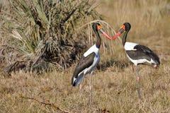 Küssen von Sattel-berechneten Storch-Paaren Lizenzfreie Stockbilder