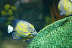 Küssendes korallenrotes Gelbes der Fische und blau Lizenzfreies Stockfoto