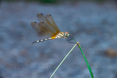 Küste Dragonlet-Libelle lizenzfreies stockfoto