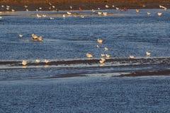 Küstefeuchtgebietsseevögel Lizenzfreie Stockfotos