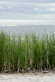 Küstegras. Stockfoto