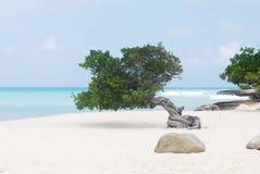 Küsten-Divi Divi Tree auf Sand-Strand Stockbild