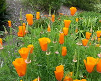 Küsten-Kalifornien-Mohnblumen stockfoto