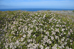 Küsten-Sage Community im Dana Point Headlands Conservations-Bereich stockbilder
