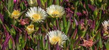 Küstenblumen Stockfoto