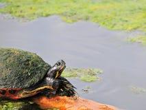 Küstencooter-Schildkröte Lizenzfreies Stockbild