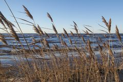 Küstenlinienschilfe im Wind lizenzfreie stockfotos