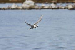 Küstenseeschwalbe, die über Wasser mit den Flügeln ausgestreckt fliegt Lizenzfreies Stockbild