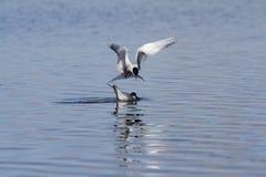 Küstenseeschwalbe, die eine andere Küstenseeschwalbe bei der Fischerei abhört Stockbild