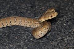 Küstenteppich-Pythonschlange (Morelia-spilota mcdowelli) Lizenzfreie Stockfotografie