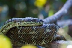 Küstenteppich-Pythonschlange (Morelia-spilota mcdowelli) in Australien Stockfoto