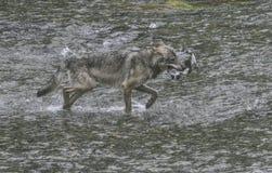 Küstenwolf gefangene Lachse Stockfotos